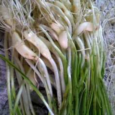 Green Garlic Waiting to be Cleaned